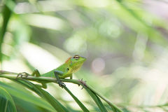 Green chameleon sitting on a tree branch Royalty Free Stock Photography