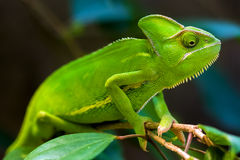 Green chameleon. On a tree Stock Photos