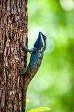 Green chameleon Royalty Free Stock Photo