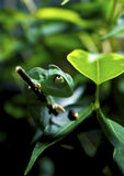 Green Chameleon on Tree Branch Royalty Free Stock Photography