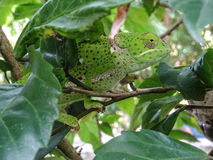 Green chameleon. On tree branch royalty free stock images