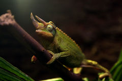 Green chameleon on tree branch Stock Photo