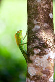 Green chameleon Royalty Free Stock Photography