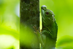 Green chameleon at tree branch in Singharaja Forest in Sri Lanka Stock Photos