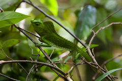 Green chameleon at tree branch in Singharaja Forest in Sri Lanka Royalty Free Stock Photo