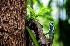 Green chameleon Royalty Free Stock Images