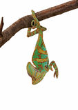Green chameleon upside down Royalty Free Stock Images