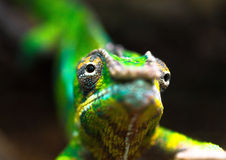 Green chameleon viewed close up Stock Photography