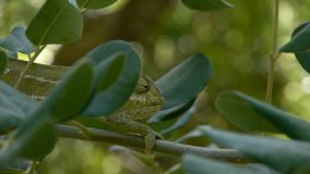 Green chameleon. Walking slowly by industry carob color is camouflaged with the environment stock footage