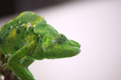 Green chameleon. On white background looking up Stock Photo
