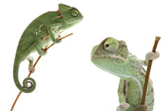 Green chameleon on white background Stock Photography