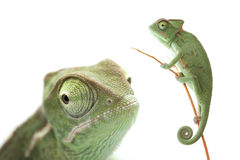 Green chameleon on white background Royalty Free Stock Photo