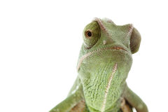 Green chameleon on white background Stock Photos