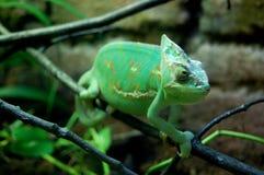 Green chameleon Stock Images