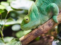 Green chameleon at zoo. In Vienna, Austria Royalty Free Stock Photo