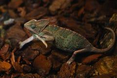Green chameleon in Zoo in Skansen, Royalty Free Stock Image