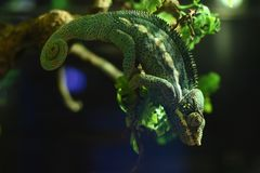 Green chameleons resembling leaves around them stock image