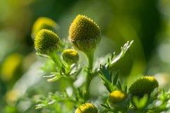 Green chamomile. Matricaria chamomilla. Macro stock photography