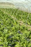 Green chard cultivation in a hothouse field Stock Photos
