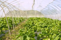 Green chard cultivation in a hothouse field. Spain Stock Photography