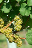 Green chardonnay grapes Royalty Free Stock Images