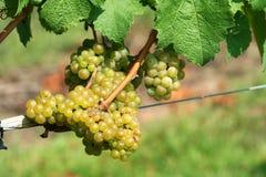 Free Green Chardonnay Grapes Stock Photography - 16079972