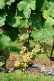Green chardonnay grapes Royalty Free Stock Photography