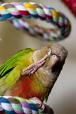 Green Cheek Conure on Rope Perch Royalty Free Stock Photography
