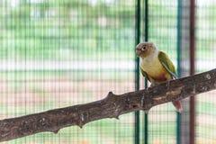 Green cheek conure. Standing on perch stock photos