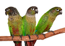 Green Cheek Conures  on white Royalty Free Stock Photo
