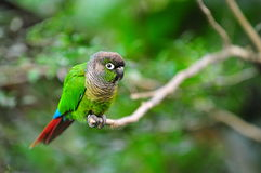 Green-cheeked conure. On a tree branch royalty free stock images
