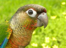 Green Cheeked conure. Beautiful yellow sided green cheek stock images