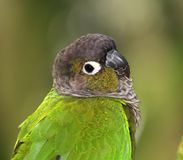 Green-cheeked Conure. A Green-cheeked Conure, native to South America stock image