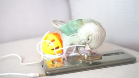 Green-cheeked parakeet biting a small talk. Green-cheeked parakeet or green-cheeked conure biting a small talk on the sofa stock video