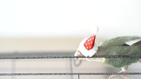 Green-cheeked parakeet wearing santa cross hats. Green-cheeked parakeet or green-cheeked conure wearing Santa Cross hats stock video