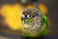 Green-cheeked Parakeet Royalty Free Stock Photos
