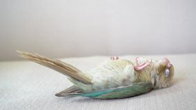 Green-cheeked parakeet is sleeping. Green-cheeked parakeet or green-cheeked conure is sleeping on the sofa stock footage