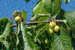 Green Cherries Stock Image