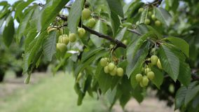 Green cherries on a cherry tree. stock video footage