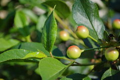 Green cherries. Photography of green cherry tree Royalty Free Stock Photo