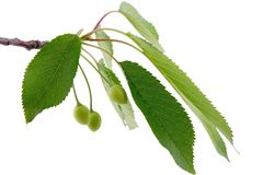 Green cherry and branch. Tree Stock Images
