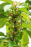 Green cherry fruits Royalty Free Stock Images