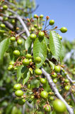 Green cherry Royalty Free Stock Photography