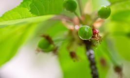 Green cherry ripens on a green tree in the spring. Fruit on the branch of sweet cherry in the garden. Nature blurred background. stock photography