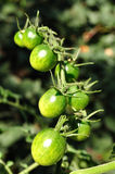 Green cherry tomatoes Stock Image