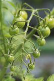 Green Cherry Tomatoes 3 Royalty Free Stock Photography