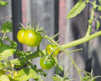 Green cherry tomatoes Stock Images