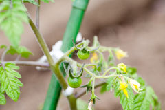 Green cherry tomatoes royalty free stock photo