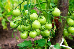 Green cherry tomatoes stock photography