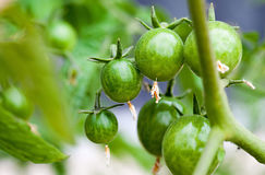 Green Cherry Tomatoes Royalty Free Stock Images